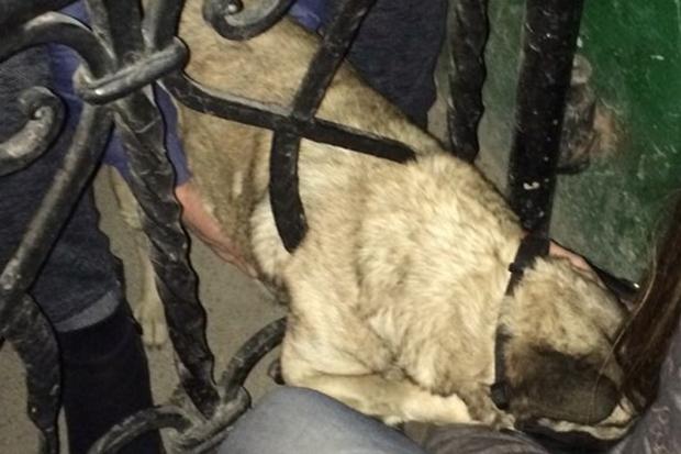 Собака у пастці